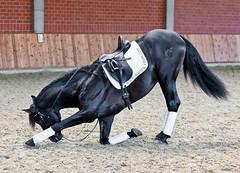 Kneeling Stallion (mortenprom) Tags: 2011 anteo mortenprom stallion black beauty dressage kneeling horse canon70200f28l danmark denmark dnemark danemark denemarken dinamarca scandinavia skandinavia skandinavien canoneos5dmarkii