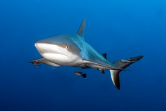 You are in my way.......... (bodiver) Tags: shark wideangle pelagic