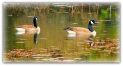 Peaceful Stroll (stilesathelake) Tags: water geese pond texasfreshwaterfisheries mygearandme