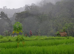 Misty Bali (The Spirit of the World ( On and Off)) Tags: bali mist misty indonesia landscape island asia tropicalisland fields greenfields mothernaturesgreenearth