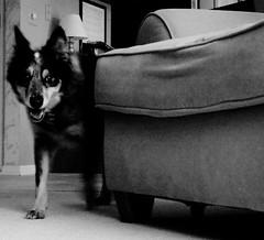 Otis (a. s p i t e r i) Tags: light shadow blackandwhite dog smile dark walking happy coming australianshepherd australiancattledog fetch entering comingin anglesanglesangles angelaspiteri