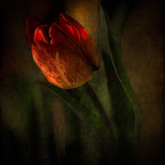 NACHTS / In the night (bealla) Tags: flowers texture tulips idream magicunicornverybest magicunicornmasterpiece