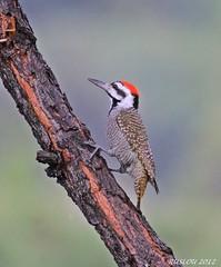 Male Bearded Woodpecker (Dendropicos namaquus) (ruslou (More off than on)) Tags: beardedwoodpecker dendropicosnamaquus baardspeg zpgr118 species201 zwartkloofprivategamereserve belabela warmbaths southafrica nature ruslou chloropicusnamaquus