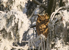 Frosty-eared owl (Pepijn Hof) Tags: autumn colour bird eye nature canon natuur owl vogel berk herst longeared asio otus uil 300mmf4 asiootus 40d avianexcellence