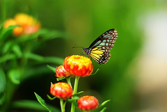 Park For A While (Haryth Hayqal) Tags: flower color macro green nature butterfly bug insect fly bokeh honey micro colourful