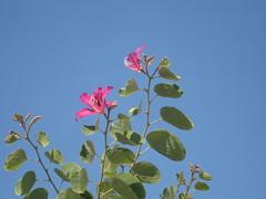 Bauhinia blakeana (cpmkutty) Tags: fabaceae alternate hongkongorchidtree bilobed bauhiniablakiana