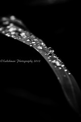 Morning dew (^Lakshman^) Tags: blackandwhite nature water japan eos leaf drops flora tamron gifu 2012 lakshman 50d canoneos50d 18270mm tamron18270mmf3563diiivc lakshmanphotography