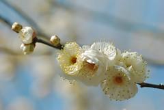 ume ~Japanese apricot (snowshoe hare*) Tags: flowers nature  ume  plumblossoms japaneseapricot kitanotenmangushrine prunusmume
