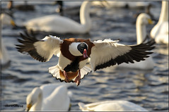 COMMON SHELDUCK 2 (Shaun's Wildlife Images....) Tags: ducks shaund