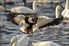 COMMON SHELDUCK 2 (Shaun's Wildlife Photography) Tags: ducks shaund