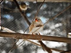 Pico rojo (Juanestiven) Tags: birds libertad jaula no aves canario encerrado