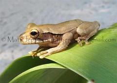 Treefrog, Mexican - QR Mexico 11-05 cropcol (Matt Jeppson) Tags: