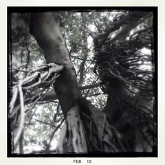 (MarkGoBlue) Tags: tree stpetersburg stpete loftus iphone iphone4 iphoneography hipstamatic loftuslens