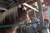 Steam Rising (Roofer 1) Tags: friends horse barn kittens belgian workhorse