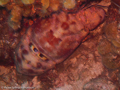 Slipper lobster (wheredowegonowbutnowhere) Tags: cuba scubadiving slipperlobster guardalavaca holguin decapodcrustaceans