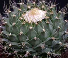 Obregonia denegrii (Succulents Love by Pasquale Ruocco) Tags: cactus cacti cactaceae succulents stabiae obregonia cactusco pasqualeruocco succulentslove