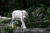 IMG_2385 (Marc Aurel) Tags: zoo singapore tiger tigre singapur whitetiger zoologischergarten singaporezoo weddingtrip hochzeitsreise bengaltiger pantheratigris zoologicalgarden königstiger pantheratigristigris royalbengaltiger pantheratigrisbengalensis weisertiger 5dmarkii eos5dmarkii indischertiger tigrebiancha