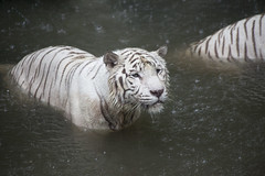 IMG_2612 (Marc Aurel) Tags: zoo singapore tiger tigre singapur whitetiger zoologischergarten singaporezoo weddingtrip hochzeitsreise bengaltiger pantheratigris zoologicalgarden königstiger pantheratigristigris royalbengaltiger pantheratigrisbengalensis weisertiger 5dmarkii eos5dmarkii indischertiger tigrebiancha