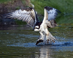 Catch of the Day (raptor wack) Tags: nature utah fishing nikon wildlife raptor osprey seahawk birdperfect