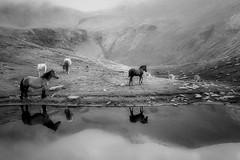 En algun racó del món... (BW) (Ferran.) Tags: horses horse lake water caballo caballos reflex cows catalonia aigua muntanya cavall llac ripolles reflexes cavalls puigmal pirineu estany vaques