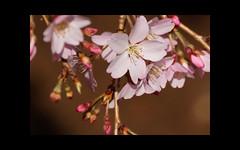 Cherry blossom (karakutaia) Tags: sun tree love nature japan paper temple tokyo heart afotando flickraward flickrglobal allbeautifulshotsandmanymoreilovenature flowerstampblackandwhite transeguzkilorestreetarturbanagreatshotthisisexcellentcontestmovementricohgxrserendipitygroupbluenatureicapturecardjapanesepapercardflickraward5jtrasognoerealtabstractelementsorganizersimplysuper