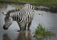 Wild and free in Tanzania (JimBoots) Tags: