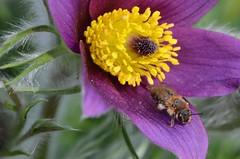 Friends (deta k) Tags: flowers macro berlin germany deutschland spring flora natur pflanzen blumen bee insekten frhling blten bienen botanischergartenberlin nikond5100