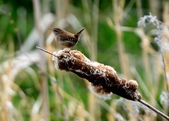 Jenny Wren (Keith Grafton) Tags: cumbria wren happyvalley barrow converter rampside nikond800 apr2014