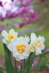 Happy Easter (Blue-Eyed Kentucky) Tags: flowers gardens spring bluegrass kentucky lexingtonkentucky fayettecountyky mygarden blueeyedkentucky