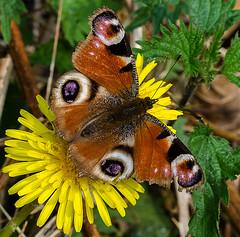 Peacock Butterfly (davep90) Tags: macro moss nikon forrest sigma birchwood mersey risley lnr 150mm d7000 davep90