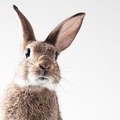 Bunny with White BG (Jeric Santiago) Tags: pet rabbit bunny animal conejo lapin hase kaninchen   winterrabbit