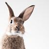 Bunny with White BG (Jeric Santiago) Tags: pet rabbit bunny animal conejo lapin hase kaninchen うさぎ 兎 winterrabbit