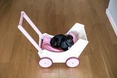 Lola (p!o) Tags: dog pet cane coker blackdog cockerspaniel buggy pram d700 lolatheohanacocker