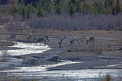 Caribou_4H4A7855 (bud_marschner) Tags: alaska caribou denalinationalpark