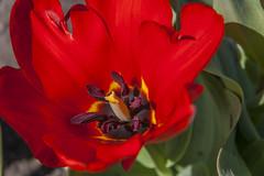 Red Tulip (AudioClassic) Tags: red flower macro nature beautiful field grass landscape flora estonia open wind meadow simplicity tulip april environment balance herb springtime urbanskyline flowerhead singleflower ruralscene nonurbanscene greencolor