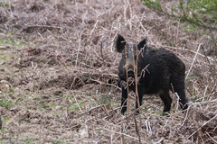 Seriously, they can't see me! Wild Boar-2851 (WendyCoops224) Tags: wild canon eos boar sus forestofdean scrofa 70d 100400mml april2016 wendycooper