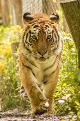 Tiger Prowl (Ronda Hamm) Tags: wild face cat canon mammal paw feline power stripes tiger bigcat carnivore prowl exoticfelinerescuecenter 7dmarkii 100400ii