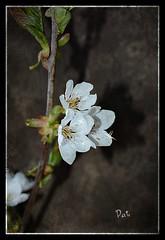 Cherish (patrick.verstappen) Tags: flowers flower texture cherry photo yahoo spring nikon belgium pat sigma textured picassa cherish ipernity d7100 ipiccy picmonkey
