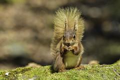Red Squirrels of Brownsea Island  (wild & Free) (lloydie1963) Tags: nature nikon walks colours wildlife explore dx redsquirrels brownseaisland inexplore onlythebestofnature d7200 nikond7200 nikon300mmf28vr2