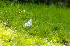 2016-05-03 PARC DES SPORTS 015 (kentinxauges) Tags: nature animaux parc oiseaux colombes
