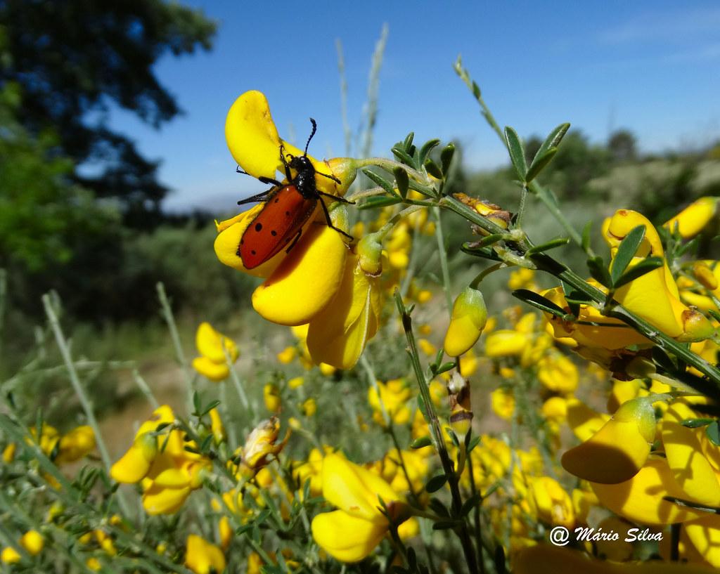 Águas Frias (Chaves) - ... flores campestres ... giestas (maias) ...
