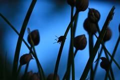 Amore (preze) Tags: blue plant love bug outdoor beetle pflanze bud blau chives liebe kfer knospe schnittlauch liliocerislilii lilienhhnchen lilyleafbeetle redlilybeetle scarletlilybeetle canoneosm3 efm55200