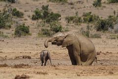 Suedafrika-54 (Lukas P Schmidt) Tags: elephant addo nationalpark elephantpark