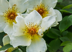 Rose time. (Omygodtom) Tags: auto wild macro rose real outdoors zoo nikon natural bright bokeh wildflower tamron90mm d7100