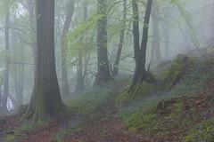 (Jon Tainton) Tags: england mist rain bluebells spring oak gloucestershire geology beech forestofdean escarpment broadleaf devonian landscapephotography woodlandpath quartzconglomerate upperdevonian leicavarioelmarr35704 seminaturalancientwoodland mineralworkings