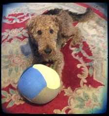 It's mine, mine, mine (alzphotoz2010) Tags: dog pet chelsea indoors terrier pooch airedale dogfun