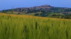 Fresh wheat _MG_1597m2(2) (maxo1965) Tags: italy field landscape wheat hills marche osimo