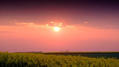 Sunset fields (Hkan Dahlstrm) Tags: sunset sky field yellow photography se skne sweden cropped f71 raps rapeseed trelleborg 2016 skneln xe2 175sek xc50230mmf4567ois trelleborgv 2619052016204610