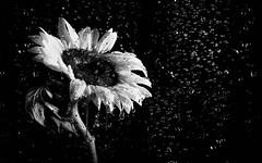 Sunflower in the rain (Hong Kong Eye) Tags: blackandwhite bw plant flower water monochrome rain petals flash monotone sunflower raindrops strobe studiophotography garyjones blackandwhitephotos may2016 nikoncorporationnikond800