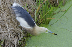 Javan pond heron (Pond Pisut) Tags: bird heron nature t for pond nikon looking natural sigma meal javan naturelover naturescape birdphotography birdphoto birdlover 120400 d7000